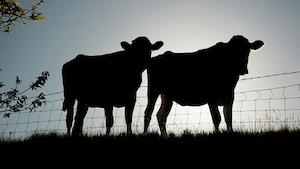 Industryweek 11371 Cow T