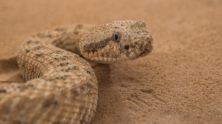 Sidewinders (Rattlesnakes) can get up to speeds of nearly 30 KPH. Source machine design.