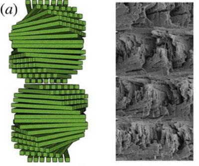Une structure Bouligand est constituée de couches de fibres entrelacées mais alignées empilées les unes sur les autres mais chacune légèrement tournées par rapport à la couche inférieure et supérieure.