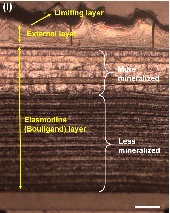 L'image de microscopie optique de la section transversale d'une échelle de carpe montre une structure multicouche.