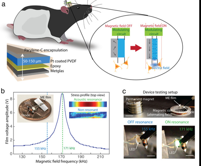 2. Les films magnétostrictifs (ME) convertissent les champs magnétiques alternatifs en une tension: (a) Schéma d'un dispositif ME sur un rat en mouvement libre pour une stimulation neurale sans fil.  L'élément actif ME est constitué d'un film piézoélectrique de difluorure de polyvinylidène (PVDF) (bleu) et d'un stratifié Metglas (gris) encapsulé par Parylene-C.  L'encart montre le principe de fonctionnement selon lequel la contrainte produite lors de la magnétisation de la couche magnétostrictive grise est transférée à la couche piézoélectrique bleue, créant une tension à travers le film.  (b) Exemple d'une courbe de réponse de résonance pour un film ME montrant que la tension maximale est produite lorsque la fréquence du champ magnétique correspond à une résonance acoustique à 171 kHz.  L'encart photographique montre un exemple d'un stimulateur ME assemblé.  L'encart «profil de contrainte» montre une vue de dessus de la contrainte produite dans un film ME tel que calculé par une simulation par éléments finis sur et hors résonance (COMSOL).  (c) Installation de test de l'appareil avec un aimant permanent pour appliquer un champ de polarisation et une bobine électromagnétique pour appliquer un champ magnétique alternatif (barres d'échelle: supérieure = 1 cm, inférieure = 2 mm)