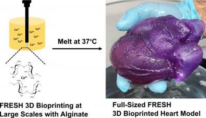Une aiguille imprime l'alginate dans un bain d'hydrogel, qui est ensuite fondu pour laisser le modèle fini.