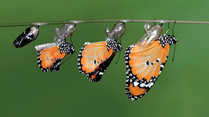 """The monarch, shown here emerging from a chrysalis, is considered the """"king"""" of the butterflies."""