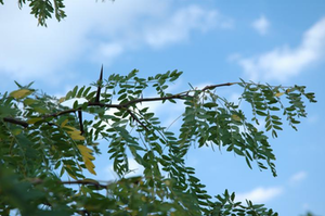 Locust Branch
